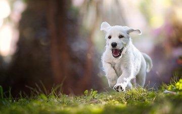 свет, трава, природа, настроение, лучи, поза, лапы, лето, белый, собака, прыжок, щенок, малыш, язык, бег, пасть
