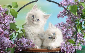 цветы, листья, взгляд, пушистые, корзина, котята, голубые глаза, сирень, мордочки