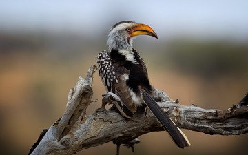 kruger national park, southern yellow-billed hornbill, wild south africa