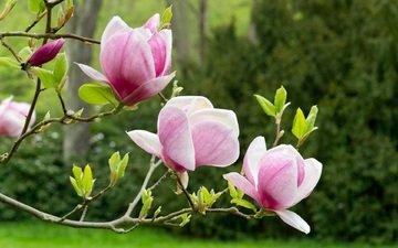 spring, blooms, magnolia