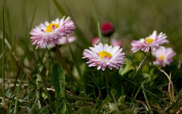 flowers, grass, bokeh, daisy