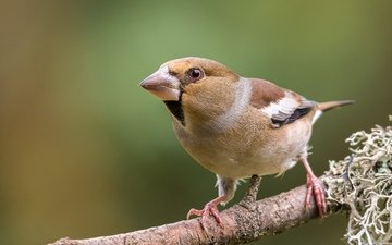 branch, pose, grosbeak