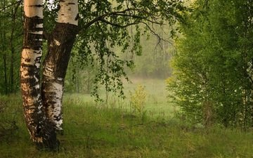 leaves, fog, birch, summer