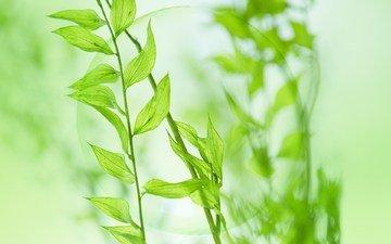 leaves, plant, stem