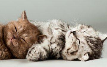 мордочка, сон, котенок, коты, кошки, котята