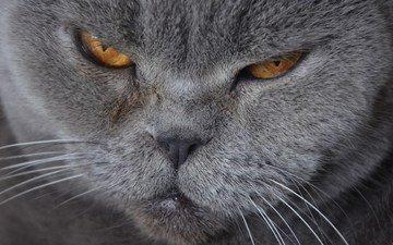 морда, кот, усы, кошка, британская короткошерстная