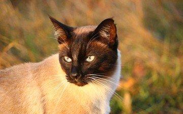морда, кот, сиамская кошка