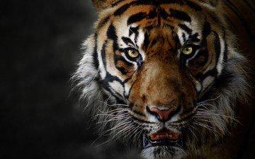 тигр, животные, большая кошка, оскал