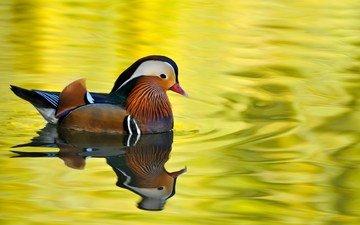озеро, птица, утка, мандаринка