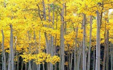 trees, forest, trunks, autumn, aspen