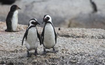 пингвин, пингвины, очковый пингвин