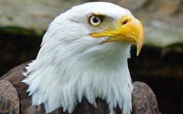 орел, клюв, дикая природа, белоголовый орлан, крупным планом, хищная птица