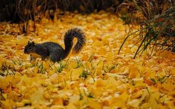 осень, серая, белка, желтые, листопад, осенние листья