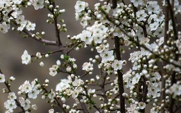 flowers, nature, tree, flowering, spring, cherry, sakura