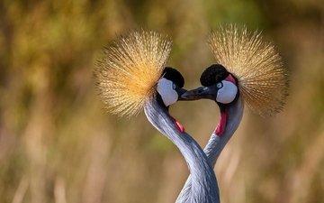 птицы, клюв, шея, журавль, венценосный журавль