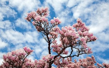 the sky, flowers, clouds, nature, tree, branches, sakura, magnolia