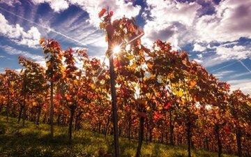 небо, облака, природа, лучи, виноград, кусты, осень, виноградник