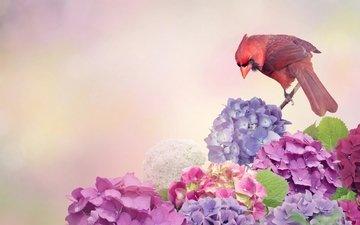 цветы, птица, кардинал, гортензия