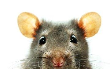 глаза, уши, крыса, грызун