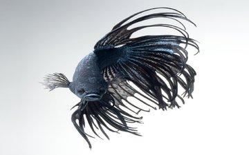 рыбка, рыба, подводный мир, петушок, аквариумная рыбка, бетта, рыба-истребитель, betta fish