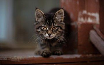кот, котенок, пушистый, милый