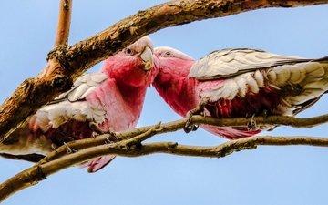 птицы, клюв, попугаи, какаду, розовый какаду