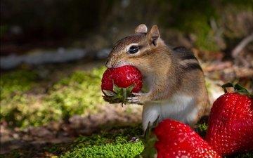 клубника, ягоды, обед, бурундук, грызун
