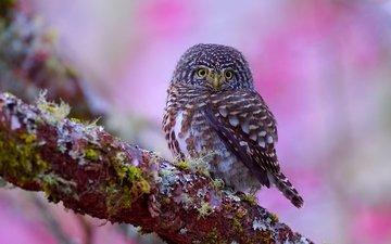 цветы, сова, ветка, дерево, цветение, фон, взгляд, птица, сыч