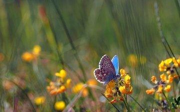 цветы, насекомое, поле, бабочка, крылья, боке, голубянка