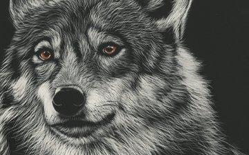 морда, арт, рисунок, взгляд, волк