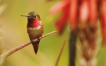 ветка, птица, клюв, перья, колибри, обыкновенный архилохус, колибри-архилохус