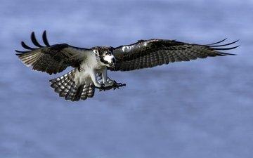 полет, скопа, хищная птица