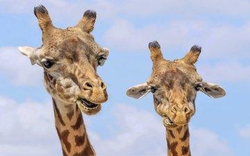 животные, жираф, дикая природа, жирафы