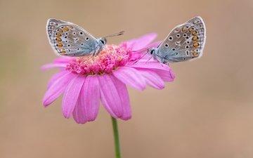 цветок, парочка, бабочки