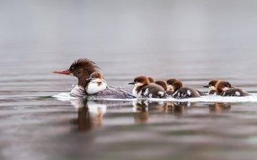 вода, птицы, семья, утята, плавание, утка, крохаль