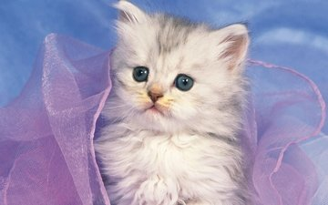 котенок, белый, милый, котёнка