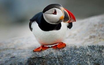 камень, птица, клюв, тупик, атлантический тупик, puffin