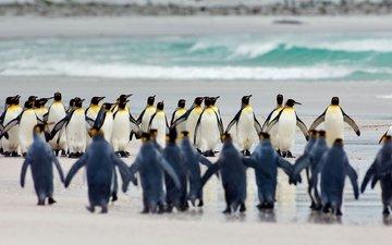птицы, пингвины, королевский пингвин, фолклендские острова