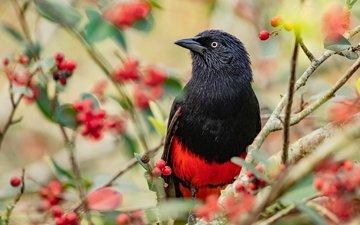 ветки, птица, ягоды, плоды, яркая, трупиал, красно-черная
