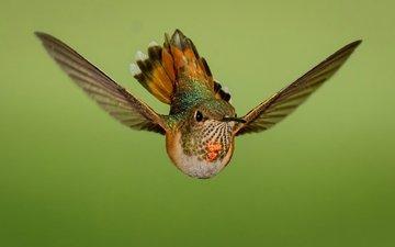 полет, крылья, птица, колибри, охристый колибри