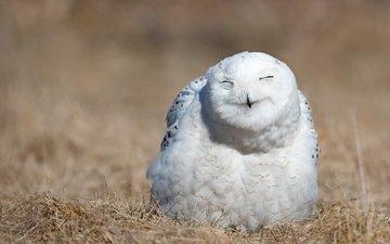 сова, природа, портрет, птица, выражение, белая, полярная, закрытые глаза, полярная сова, улыбочка