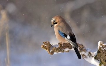 снег, природа, птица, сойка
