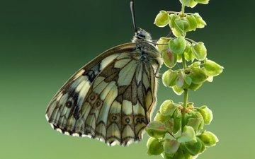 насекомое, фон, бабочка, крылья, галатея, пестроглазка галатея