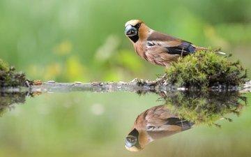вода, отражение, птица, клюв, мох, перья, дубонос