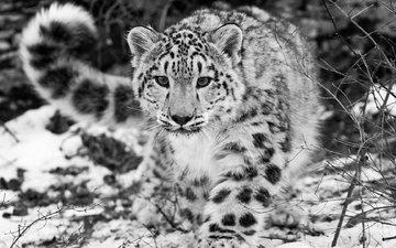 snow, black and white, snow leopard, irbis