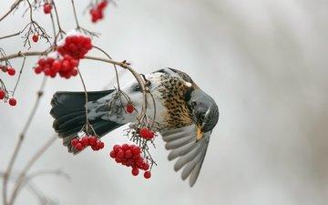 ветка, ягода, птица, клюв, перья, рябина, дрозд, дрозд-рябинник, рябинник