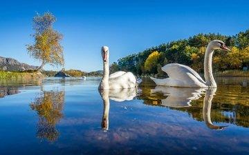 озеро, природа, отражение, птицы, лебеди, лебедь, белый лебедь