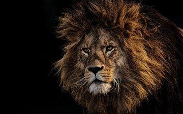 face, predator, black background, leo, mane, lion, the king of beasts