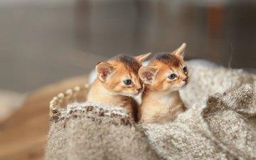cats, kids, kittens, abyssinian cat, денис ганенко