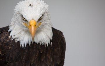 птица, клюв, перья, белоголовый орлан, хищная птица